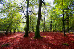 Autumn Selva de Irati beech jungle in Navarra Pyrenees Spain Royalty Free Stock Images