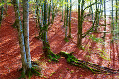 Autumn Selva de Irati beech jungle in Navarra Pyrenees Spain Stock Photo