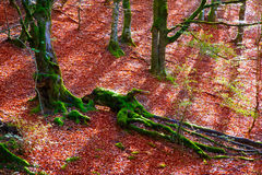Autumn Selva de Irati beech jungle in Navarra Pyrenees Spain Royalty Free Stock Image
