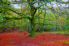 Autumn Selva de Irati beech jungle in Navarra Pyrenees Spain Royalty Free Stock Photo