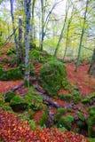 Autumn Selva de Irati beech jungle in Navarra Pyrenees Spain Stock Photos