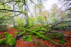 Autumn Selva de Irati beech jungle in Navarra Pyrenees Spain Stock Images