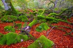 Autumn Selva de Irati beech jungle in Navarra Pyrenees Spain Royalty Free Stock Photo