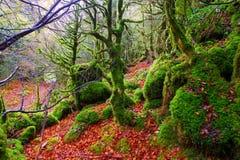 Autumn Selva de Irati beech jungle in Navarra Pyrenees Spain Royalty Free Stock Photography