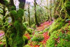 Autumn Selva de Irati beech jungle in Navarra Pyrenees Spain Royalty Free Stock Image