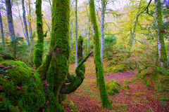 Autumn Selva de Irati beech jungle in Navarra Pyrenees Spain Stock Image