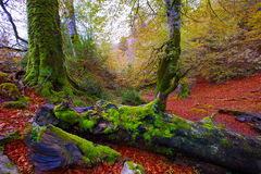 Autumn Selva de Irati beech jungle in Navarra Pyrenees Spain Royalty Free Stock Photography
