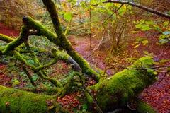 Autumn Selva de Irati beech jungle in Navarra Pyrenees Spain Royalty Free Stock Photos