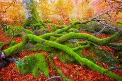 Autumn Selva de Irati bokträddjungel i Navarra Pyrenees Spanien royaltyfria foton