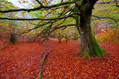 Autumn Selva de Irati bokträddjungel i Navarra Pyrenees Spanien royaltyfri fotografi