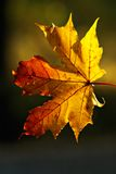 Autumn semitones. Lonely leaf shined behind the low autumn sun Royalty Free Stock Photos
