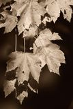 Autumn in sepia Royalty Free Stock Photography