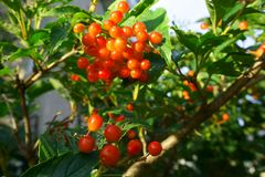 Autumn, september, red Viburnum Berries royalty free stock photography