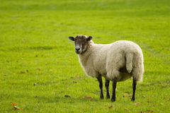 Autumn sheep Stock Images