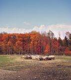 Autumn in a sheep farm. Colorful autumn trees in a sheep farm royalty free stock image