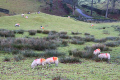 Autumn sheep Stock Images