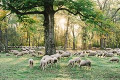 Autumn sheep graze the Englischer Garten. Autumn foliage surrounds the herd of sheep that reside in the Englischer Garten in Munich. An unfamiliar sight, with Stock Photography