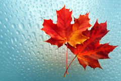 Autumn sheet with drop. Autumn sheet on background of the drop royalty free stock photo