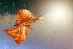 Autumn sheet tree flies in rain. Autumn sheet tree flies on background of the drop in rain stock image