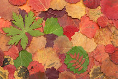Autumn sheet on white background Royalty Free Stock Photography