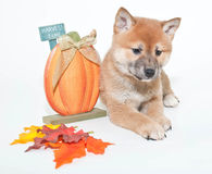 Autumn Shiba Inu Puppy Royalty Free Stock Photography