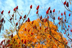 Autumn Shows a Different Perspective. Autumn this year in southeast rural Michigan has delighted my eyes in it's generous gifts of colors. These unusual plants stock image