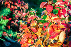 Autumn shrub. Colorful autumn shrub with berries under the sun Royalty Free Stock Photography