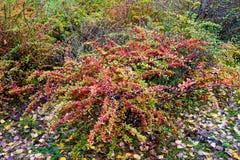 Autumn shrub. Royalty Free Stock Photos