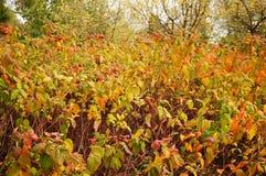 Autumn shrub Royalty Free Stock Photo