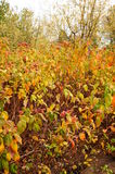 Autumn shrub Royalty Free Stock Image