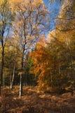 Autumn Silver Birch Fotografía de archivo