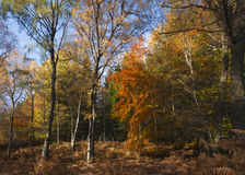Autumn Silver Birch Fotos de archivo