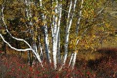 Autumn silver birch forest Stock Photos
