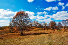 The autumn silver birch trees Stock Photos