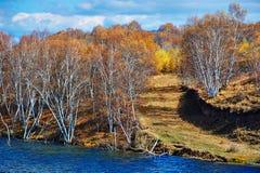 The autumn silver birches Stock Photo