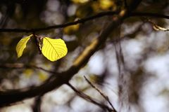 Autumn single leaf is hanging on a branch. stock photos