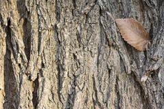 Autumn single leaf on tree trunk detail Stock Photos