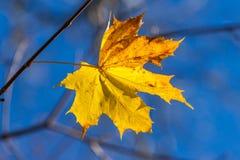 Autumn single yellow maple leaf Stock Photo