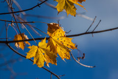 Autumn single yellow maple leaf Royalty Free Stock Images