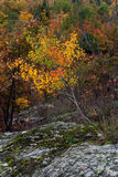 Autumn sketch at the Thomas Rock, Michigan, USA. Little Birch in the autumn finery is growing on the stones, Thomas Rock, Marquette County, Michigan, USA Stock Image