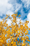 Autumn Sky. Bright yellow autumn tree with bright blue sky with a few clouds behind it Stock Photography