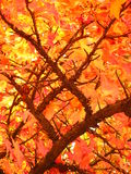 Autumn Sky. View of autumn leaves admist the branches stock image