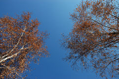 The autumn sky. Kind of the blue sky with autumn trees Royalty Free Stock Photos