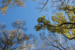Autumn sky. Between trees with yellow folio Royalty Free Stock Images