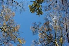 Autumn sky. Between trees with yellow folio Royalty Free Stock Photo