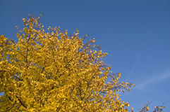 Autumn Sky. Golden autumn leaves on deep blue sky Royalty Free Stock Images