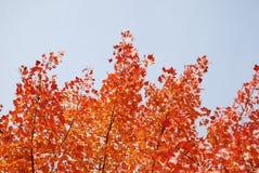 Autumn Sky. Autumn trees with a blue sky Stock Photo