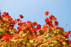 Autumn Sky. Autumn trees with a blue sky Royalty Free Stock Image