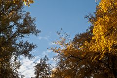 Autumn sky. Autumn blue sky and the tops of yellow trees - a beautiful background for the gadget Royalty Free Stock Photography