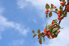 Autumn sky background. With berry branch Stock Image
